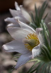 Pulsatilla vulgaris (MoMontyMisty) Tags: pulsatillavulgaris mobarton white delicate springflower flora botany homeopathy alpine light fragile ephemeral beauty beautiful stamens petals pretty muted pastel garden flower pulsatilla plant nature closeup bloom vulgaris blooming floral wildflower season natural macro wild outdoor springtime colorful detail pistil herb meadow botanic growth hairy perennial pasqueflower sunlight fragility fluffy europe