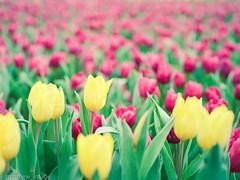 000044840007 (matthew_image) Tags: 80mm f28 mamiya m645 645 1000s film kodak portra 160 iso iso160 filmisnotdead films portra160 flower flowers hong kong hongkong hk hongkonger color colours colour colorful colors colourful