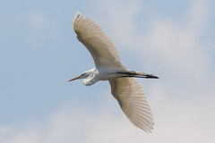 Great Egret Takes Flight-29 (Scott Alan McClurg) Tags: aalba ardea ardeidae flickr animal back backyard bird bluesky flap flapping flight fly flying greategret land landing life nature naturephotography neighborhood portrait spring suburban urban white wild wildlife