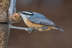 Red-breasted nuthatch (Bob Gilley) Tags: redbreasted nuthatch
