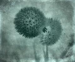 ... (kate053) Tags: fleur pissenlit dandelion