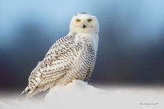 "The ""where's the vole"" look... (Earl Reinink) Tags: owl raptor spring earl reinink earlreinink nikon niagara ontario canada nature bird animal naturephotography eye eyes snowy snowyowl nycteascandiaca ohtdadadha"