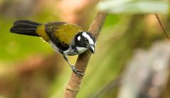 IMG_7611  Black-winged Saltator (ashahmtl) Tags: blackwingedsaltator bird saltator songbird saltatoratripennis santadeonearmindo pichinchaprovince ecuador