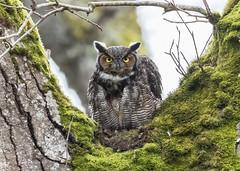 Great Horned Owl (Peter Bangayan) Tags: greathornedowl owl nature wildlife nisquallywildliferefuge washington olympia canon canon7d ef500mmf4lisusm canon2xmarkiii birds birdsofprey