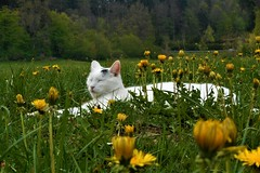 Meadow with dandelions and Miki in the middle. (vidaficko) Tags: miki dandelion meadow grass green yellow white black cat hiding pretending flower