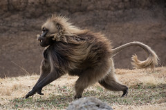 Gelada - On The Move (Barbara Evans 7) Tags: gelada on th e move simien mts ethiopia barbara evans7