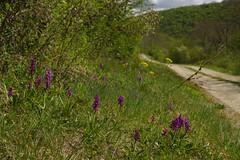 groupe d'orchis male au bord du chemin (francky25) Tags: orchis mascula groupe dorchis male au bord du chemin echay flore franchecomté doubs orchids botanique orchidée sauvage