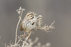 Song Sparrow (Peter Stahl Photography) Tags: songsparrow sparrow spring alberta biglake
