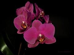 610_1652_4096 (a.marquespics) Tags: orquídea orchid flor flower purple black planta plant nikon d610 2870mmf3545d nikkor detalhe detail sharp sharpness phalaenopsis af purpura violeta myorchids minhasorquídeas