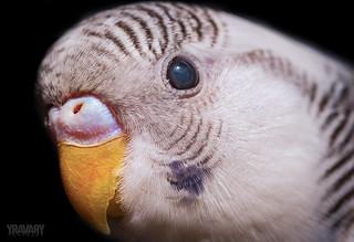 Perruche Ondulée / Wavy Parakeet / pyrrhura peruviana