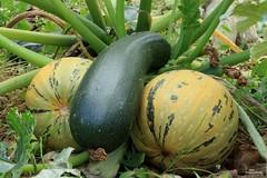 Cinq fruits et légumes par jour (Un jour en France) Tags: fruit légume nature jardin nud nude courge sexe