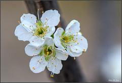 Flor de ciruelo (Jose Manuel Cano) Tags: flor flower ciruelo plum nikond5100 planta plant amarillo yellow