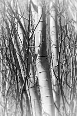 Álamos blancos (Populus alba L) B/N - White poplars (Populus alba L) B/W (Eva Ceprián) Tags: blancoynegro blackandwhite álamo poplar árbol tree naturaleza nature ramas branches tronco treetrunk primavera spring nikond3100 tamron18270mmf3563diiivcpzd evaceprián