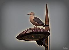 Pintora de farolas (Franco D´Albao) Tags: francodalbao dalbao fuji ave bird gaviota seagull urbana urban carroñera carrion plaga plague invasoras invaders thebirds sucias dirty