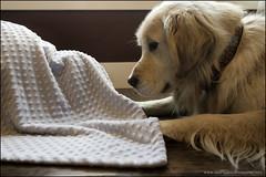 13-52 the mystery blanket (Dave (www.thePhotonWhisperer.com)) Tags: bruno 52weeksfordogs 52weeksforbruno goldenretriever retriever family blanket hideandgoseek