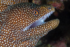 Nice Chompers! (supra455) Tags: 5 big diopter diving eel fstopandsee gymnothorax hawaii island macro meleagris moray mouth scuba spots spotted subsee turkey underwater white kailuakona unitedstates us
