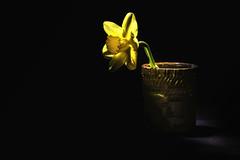 Lonely (Linda Kosidlo) Tags: odc daffodil lowkey ceramic flower spring