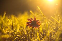 Enchanting light (Meastrology) Tags: enchanting light glow gold golden sunset flower spring bokeh