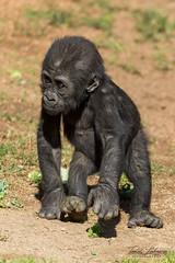 And she is off! (ToddLahman) Tags: littleleslie leslie canon7dmkii canon canon100400 walking crawling westernlowlandgorilla baby babygorilla gorilla sandiegozoosafaripark safaripark mammal 5monthsold outdoors