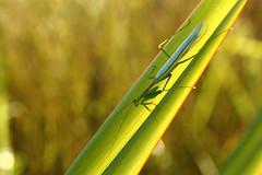 Praying mantis (MonsterHangout) Tags: mantis praying insect