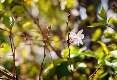 ILCE-6000-05553-20170408-1325-Pano // Carl Zeiss Jena Biotar 58mm 1:2 (Otattemita) Tags: 58mmf2 biotar carlzeissjena carlzeissjenabiotar58mmf2 florafauna fauna flora flower nature plant wildlife carlzeissjenabiotar58mm12 sony sonyilce6000 ilce6000 58mm cnaturalbnatural ota