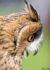 Waldohreule (Silu Junior) Tags: owl eule uhu kauz vogel bird jäger