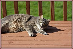 I got my eyes on you! (MEA Images) Tags: cats tabby pets animals domesticanimals picmonkey