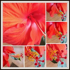 This one is for you.. (Trinimusic2008 - stay blessed) Tags: trinimusic2008 judymeikle nature hibiscus collage dedication colour color toronto to ontario canada