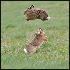 Springtime (image 1 of 2) (Full Moon Images) Tags: wildlife nature animal mammal spring leap springtime brown hare