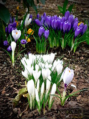 Variations on a Theme (the mindful fox) Tags: flowers fleurs blümen spring crocus crocuses