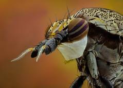 Un desconocido (EBCN) Tags: extrem macro insect d300 emiliobcn barcelona