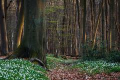 Mein Frühlingswald (Petra Runge) Tags: waldundbäume wald baum frühling natur landschaft anemonen buschwindröschen springtime nature landscape forest wood nienhagen gespensterwald mecklenburgvorpommern