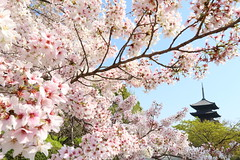 Sakura (Teruhide Tomori) Tags: sakura cherry spring tree pagoda 五重塔 kyoto japan japon toji architecture building construction roof tradition 京都 東寺 寺院 春 桜 山桜 日本 庭園 garden flower bloom blossom