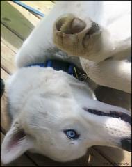 Being Silly (KLF & JRN) Tags: kjphotography siberianhusky smileofadog pointynoseddogs interestingdogposes husky brantford blueeyeddog blueeyes pet dog animal