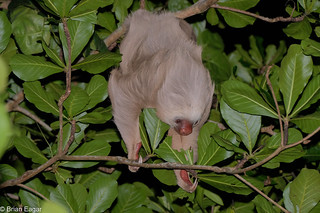 Two-Toed sloth feeding at night