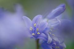 Bluebells in the Park (pallab seth) Tags: bluebell hyacinthoidesnonscripta macro dof spring flower barking park england london signofspring bokeh nature garden samsung60mmf28macroedoisssalens samsungnx1 springgarden