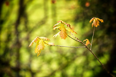 From Little Acorns (h_cowell) Tags: tree trees wood woodland oak gawsworth cheshire light green branch leaves leaf nature flora plant serenity blur colour outdoors peaceful panasonic zoom gx7 nikeefex appicoftheweek