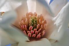 "Magnolia (*Millie* ""Catching up slowly"") Tags: magnolia flower spring tree crown white light nature outdoor unioncanaltunnelpark lebanonpa macro ef100mmf28lmacroisusm"