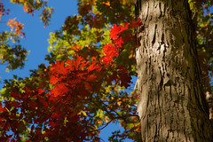 Autumn Sunlight (SunnyDazzled) Tags: red eastern oak leaves sunlight fall autumn foliage sunshine afternoon blue sky nature tree bark