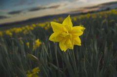 Star of spring (dagomir.oniwenko1) Tags: daffodil sigma sigmadc1750 star spring scotland nature flowers canon canoneos7d laurencekirk bent