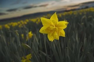 Star of spring