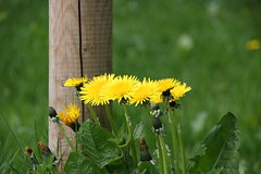 Flowers by Post (JP Photography74) Tags: post flowers dandelions outdoors nature wildflowers spring countryside uk england staffs canon sigma