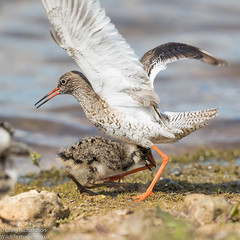 Little guy standing up to the big guy. (Wildlifestudios) Tags: lapwing chick redshank spring bird waders