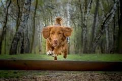 Flying toller.. (dziambel) Tags: toller nova scotia duck tolling retriever forest spring jump jumping dog pet green orange