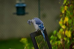 molting bluejay (Wil James) Tags: bird molting bluejay backyard ontario canada
