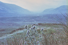 Thistle, Scotland 2016 (Sly Panda) Tags: none sly panda grain nature photography landscape 35mm film minolta thistle highlands scotland f2 iso1600 grass mist summer august roadtrip adventure travel northcoast500 500 miles