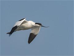 DSC_3998  A Flying Avocet (springer67gs) Tags: nikond800 avocet blacktoft sands