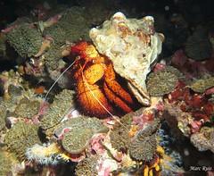 IMG_4947 (marc.ruis) Tags: myanmar diving hermit crab night