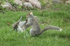 """Busy Backyard"" (OrlandParkBirdieGirl) Tags: sciurus carolinensis eastern gray squirrels greysquirrels mating mammals behaviour the flickr lounge group week 15 animals real or not outdoor backyard trees leafandtwigsnests"