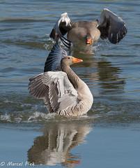 Biesbosch - Goose Attack (CapMarcel) Tags: biesbosch goose geese duck canadian nikon d500 500mm